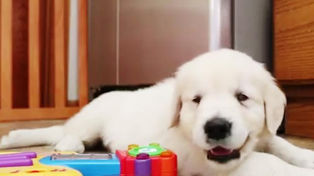 Adorable blind Golden Retriever puppy is training for a lifetime of service