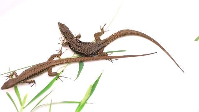 U S Lizard Boy snuck a liz...