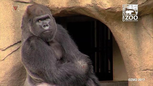 Cincinnati Zoo Gets First Gorilla Since Harambe