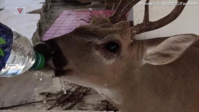 Firefighters give water to thirsty deer that survived Hurricane Irma