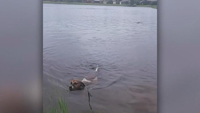 Unknowing pup swims in alligator-infested waters