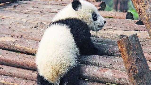 Free sex panda