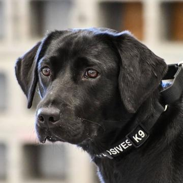 Lulu the bomb-sniffing pup fired by the CIA