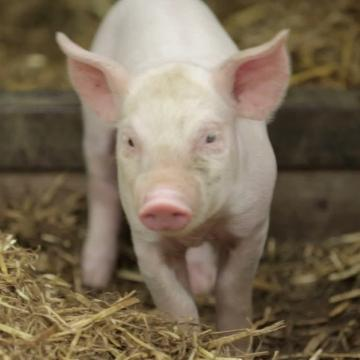 Scientists have created 'low fat' pigs