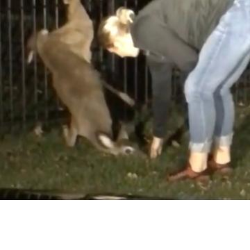 Woman deadlifts deer stuck in fence