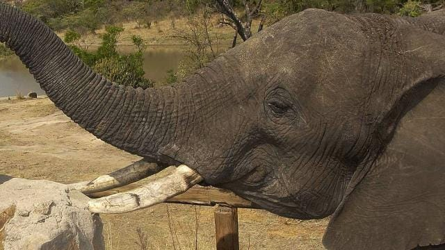 The U.S. will allow imports of elephant trophies from Zimbabwe, Zambia