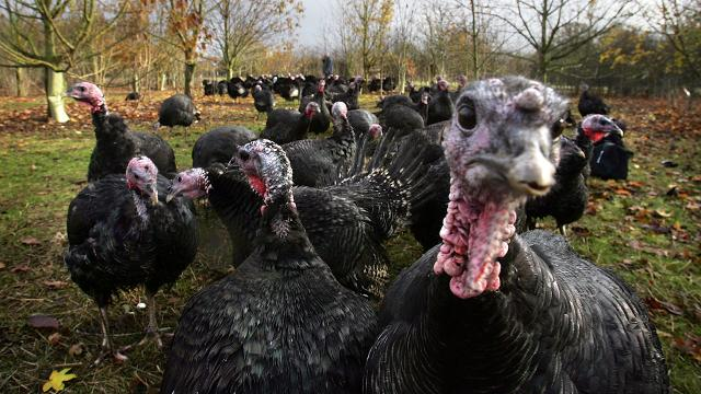 How many turkeys!? Here are 4 fun Thanksgiving facts