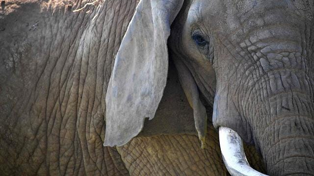 Why reversal of the elephant trophy ban comes at an odd time