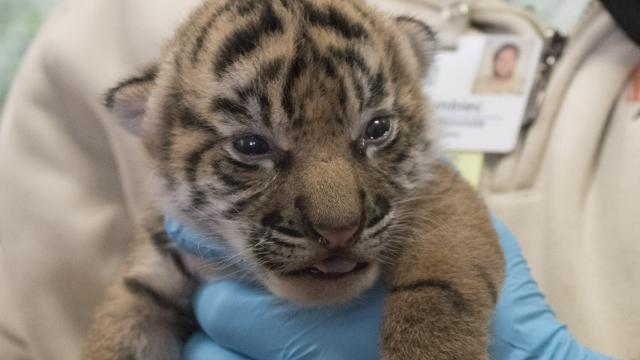Critically endangered tiger cubs born at Jacksonville zoo