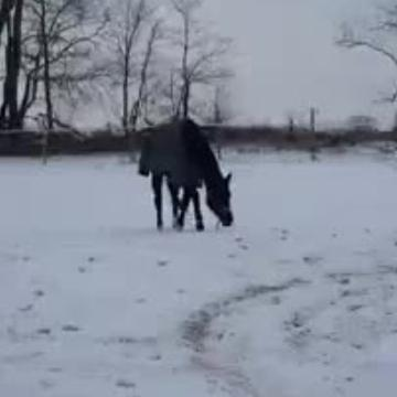 Rescue horse frolics in the snow like a puppy