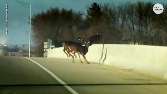 Here's why a herd of deer jumped to their death
