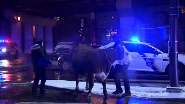 Loose cow corralled twice after escaping church nativity scene