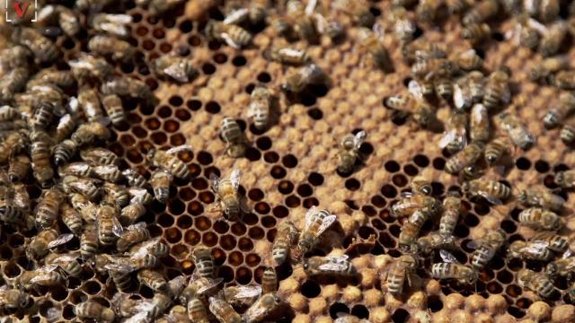Puerto Rico's hurricanes may have doomed the world's honeybees