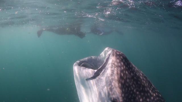 Go inside the mouth of a whale shark