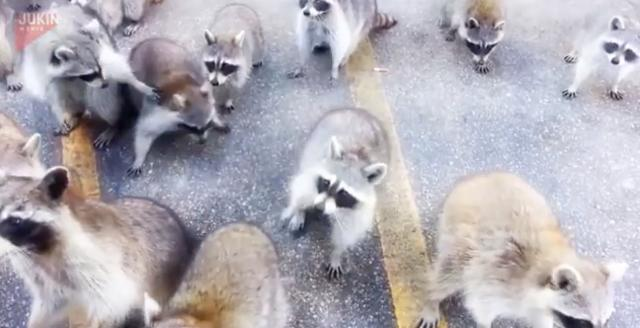 We've never seen so many raccoons in one place before