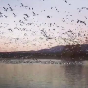 Thousands of geese put on beautiful show