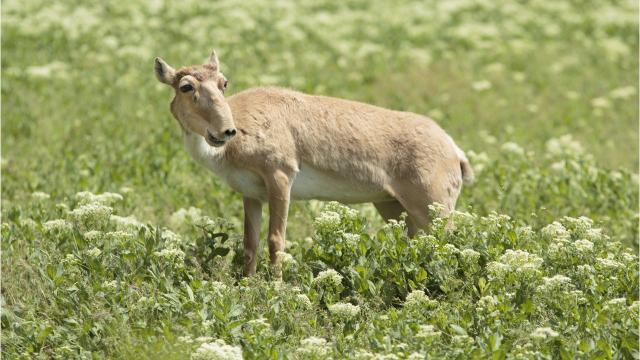 Why are so many antelopes dying?