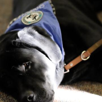Therapy Dog Providing Comfort at Larry Nassar's Sentencing