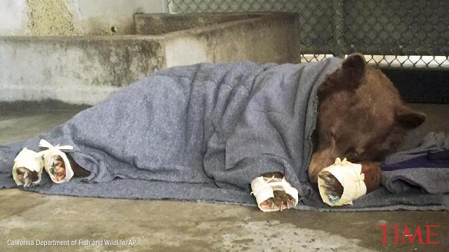 Bears get special treatment for their wildfire-burned paws