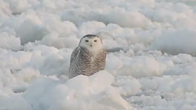 Snowy owl relaxing on ice is breathtaking