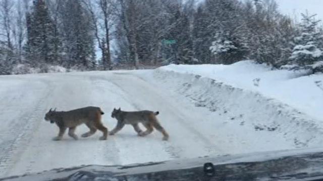 Rare sighting of a family of lynx in Alaska
