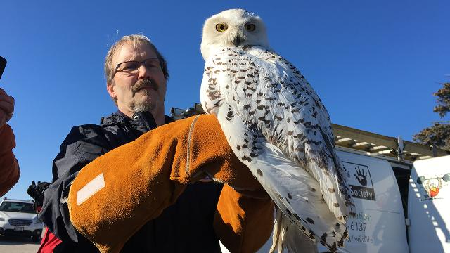 Sick snowy owl found 1,000 miles from home