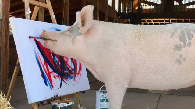 Rescued pig goes from slaughterhouse to artist