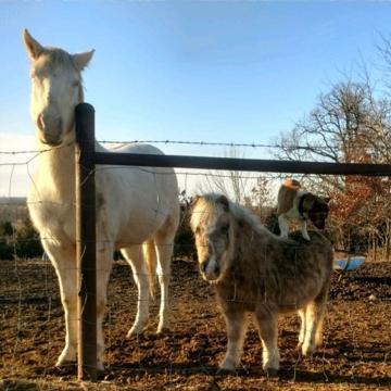Corgi hitches a ride on unsuspecting pony