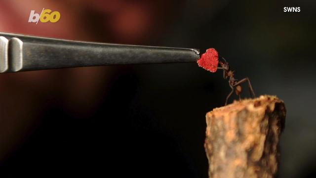 Ants receive the world's smallest Valentine's Day card
