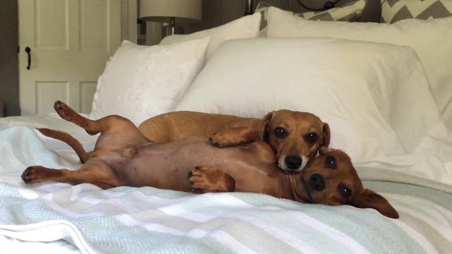 Cuddly Dachshunds are relationship goals