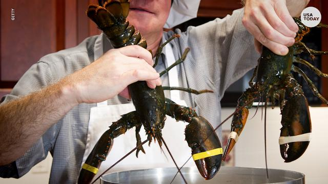 Lobster law: Consider their feelings before boiling them