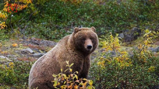 Yellowstone National Park's grizzly bears may be in trouble if Wyoming begins hunting the formerly endangered animal.