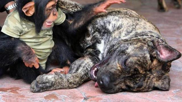 Tiny chimp and mastiff have the cutest friendship