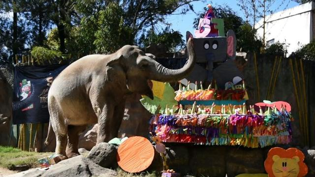 Trompita the elephant celebrates 57th birthday at Guatemala zoo.