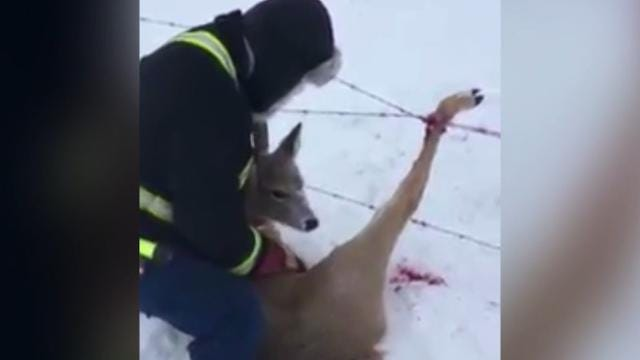 A deer was stuck in barbed wire, struggling to get free.