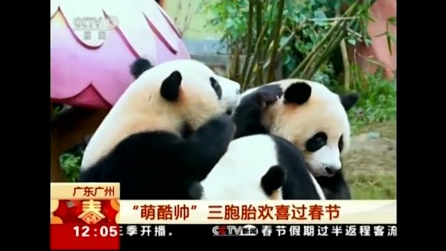 The world's only panda triplets celebrated the Chinese New Year in Guangzhou, China with specially prepared food. China state broadcaster CCTV aired footage of the trio, saying handlers prepared steamed cornbread for them shaped like dumplings.(Feb. 20)