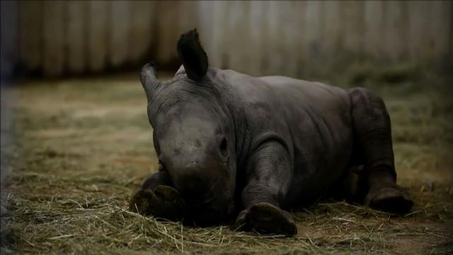 A rhino and three tigers are born at Amneville Zoo in France.