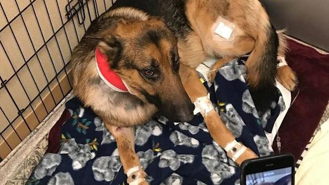 A German Shepherd was shot multiple times and badly beaten as it did all it could to protect its 16-year-old owner from two men who broke into their home in Des Moines, Washington.