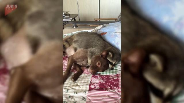 Raccoon wants to snuggle his puppy pal