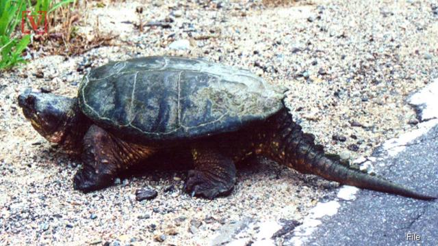 Science teacher accused of feeding puppy to snapping turtle