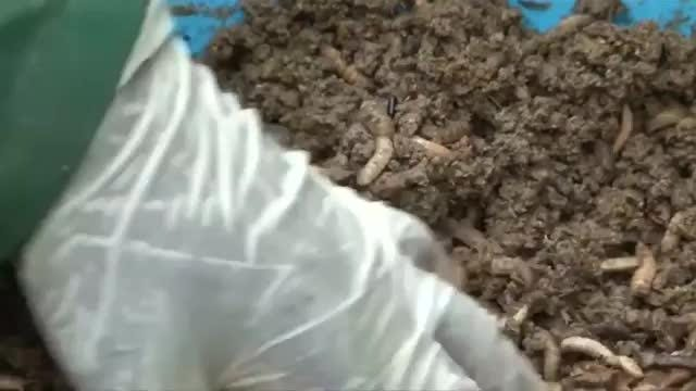 Farmers in Uganda are being encouraged to use insects as livestock feed to enable them to find more nutritious protein alternatives for their animals. Breeding insects like maggots and earthworms also takes up less space.