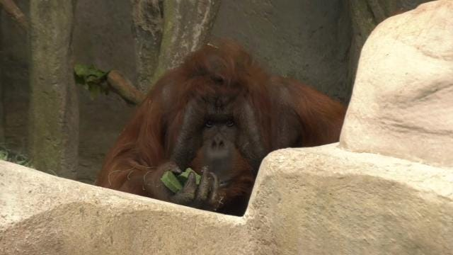 Brookfield Zoo near Chicago celebrated St. Patrick's Day a little early by giving some of the animals shamrock-shaped treats. The camels, lemurs, orangutans, and gorillas all got treats made of a green biscuit and gelatin. (March 16)