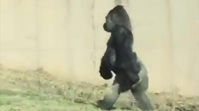 Gorilla walks like human for snack run