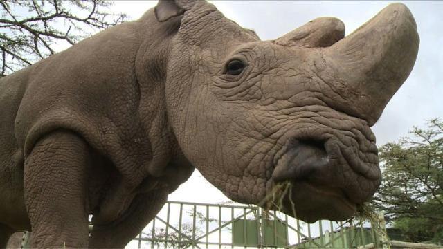 pics Last Male Northern White Rhino Dies In Kenya