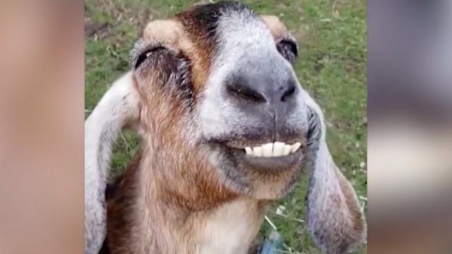 We've never seen a happier goat