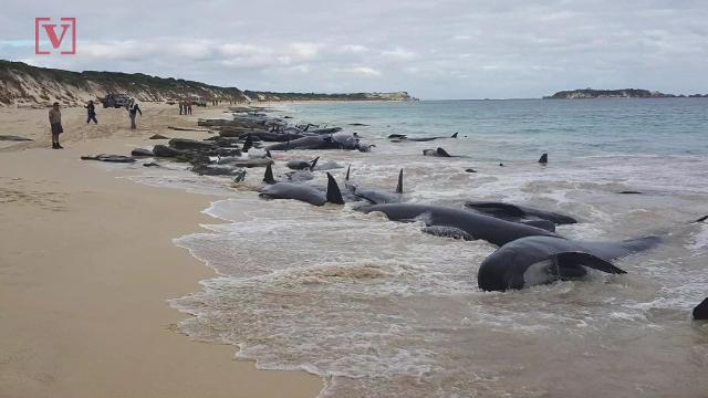 Nearly 150 beached whales die after mass stranding in Australia