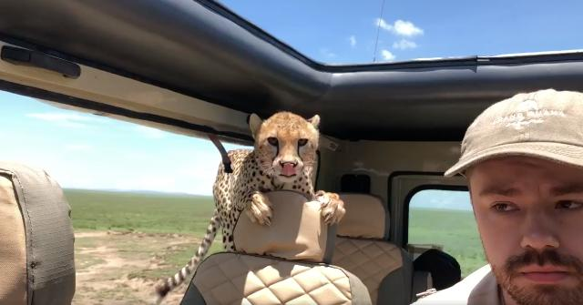 Heart-pounding video shows a cheetah jumping into an SUV to find a better scouting spot. Britton Hayes made sure to stay quiet and not make eye contact to the cheetah didn't see him as a threat.