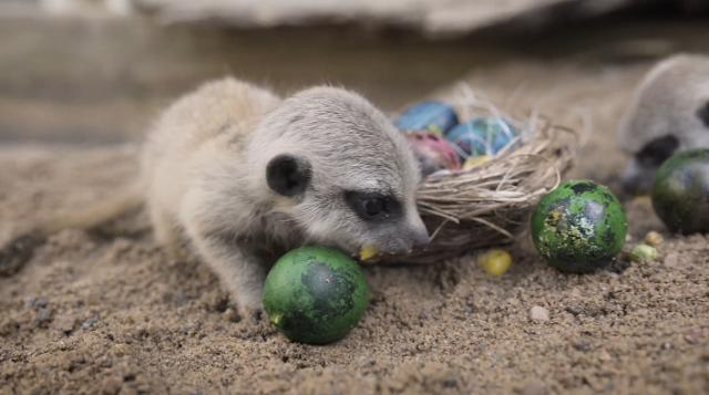 Four meerkat pups were born at Symbio Wildlife Park in March and though they're still a little wobbly on their feet, they had no problem participating in an Easter egg hunt.