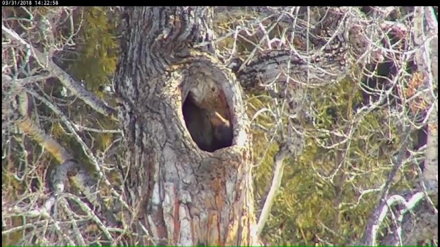 Thousands of people are tracking the movements of a sleepy black bear who seems reluctant to leave the tree hollow it used as a den this winter. Glacier National Park officials have trained a webcam on the tree since they first spotted the bear. (April 3)