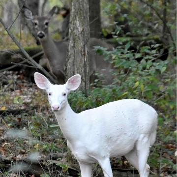 a white deer is intriguing nature lovers